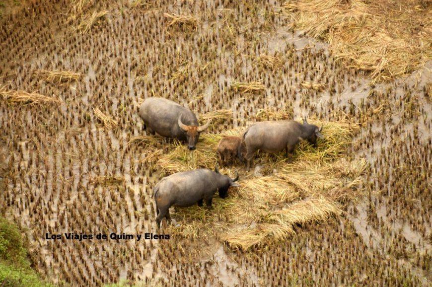 Búfalos de agua