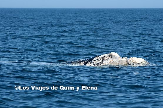 Un ballenato albino