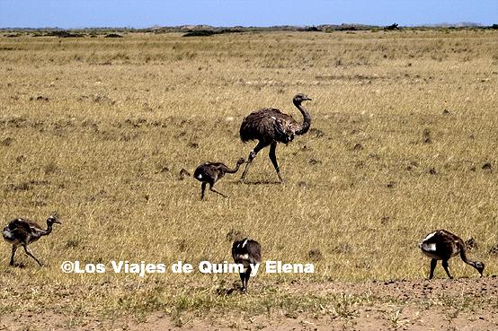 Ñandús corriendo en Península Valdés