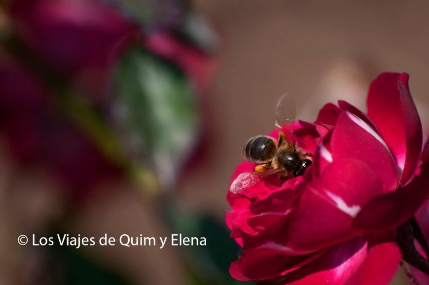 Rosa en los Jardines de Cervantes