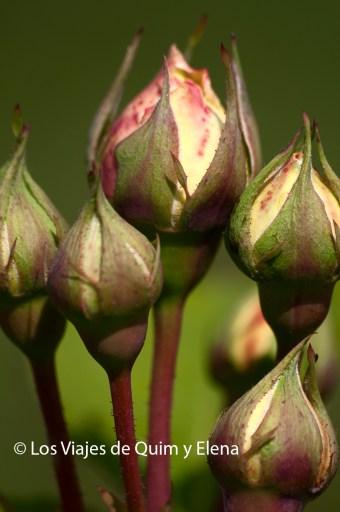 Rosas a punto de abrir