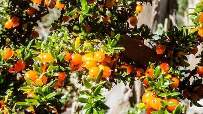 edible tasmanian berries