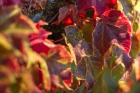 The ivy that adorns Portland's overpasses turns a fiery red each autumn