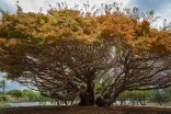 A massive tree stands in Whittington Beach Park in Hawaii.