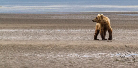 An Alaskan bear looking back over his shoulder on the beach | LotsaSmiles Photography