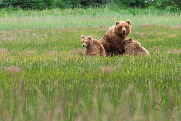 Mother bear with her two cubs in the Alaskan sedge grass | LotsaSmiles Photography