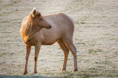 Blonde elk are actually quite rare