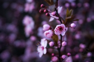 Sakura flowers bloom in early spring, painting the city in color.