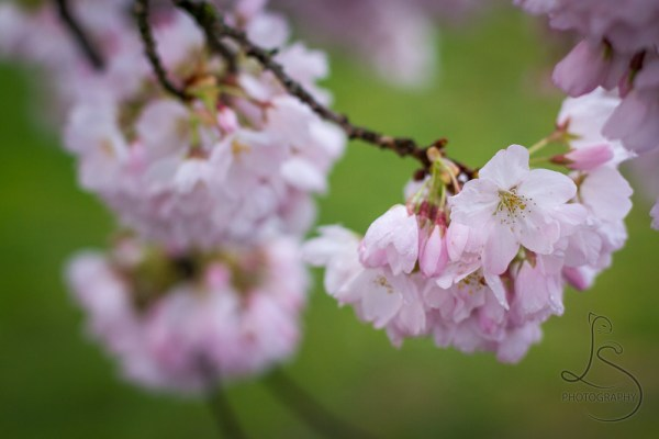 A bunch of cherry blossoms, focused on one in full bloom | LotsaSmiles Photography