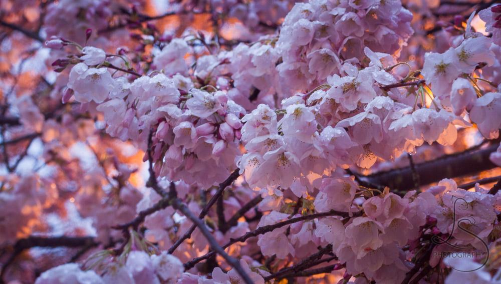 Soggy Sakura