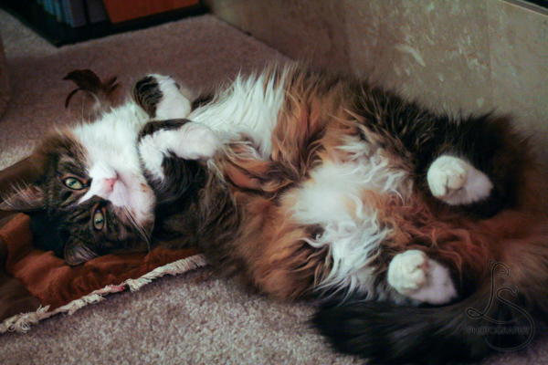 Zoe laying on her back, her fuzzy belly exposed | LotsaSmiles Photography