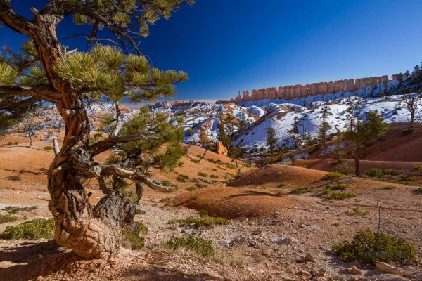 China Wall lining the horizon, with a funky tree in the foreground, in Bryce Canyon | LotsaSmiles Photography
