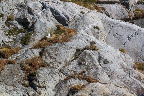A seagull nestled in a grassy nook on a rocky island at the Kyrping Campground in Norway | LotsaSmiles Photography