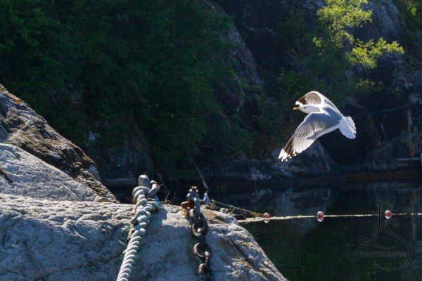 A seagull landing on the rocky island at Kyrping, Norway | LotsaSmiles Photography