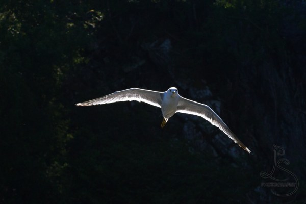 A backlit seagull in front of a background cast in shadow at Kyrping, Norway | LotsaSmiles Photography