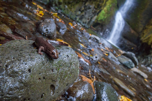 A salamander perched on a rock in front of a waterfall in the Columbia River Gorge | LotsaSmiles Photography
