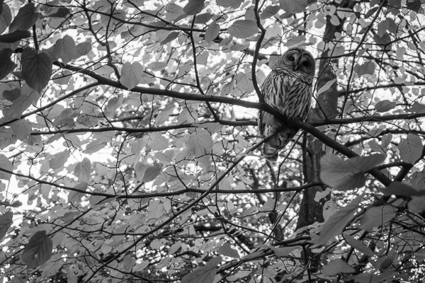 Owl among the branches of a tree in a Portland park | LotsaSmiles Photography
