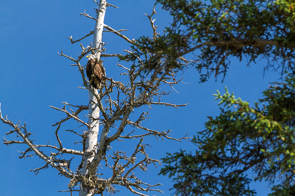 Bald eagle in a bare tree in Alaska | LotsaSmiles Photography