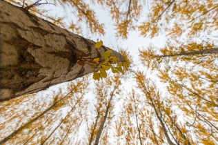 Rows of trees in autumn color reach for the sky in Boardman's tree farm in Oregon.