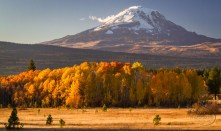 A copse of trees stand in full autumn color in front of Mt. Adams just before sunset