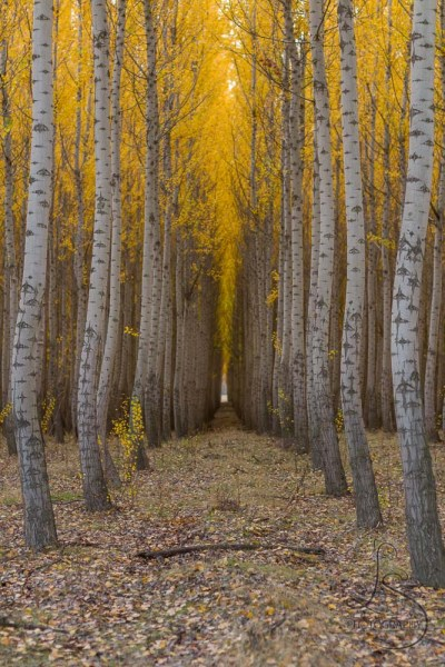 An avenue of golden autumn trees at the Boardman Tree Farm in Oregon | LotsaSmiles Photography