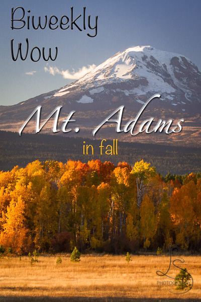 A copse of trees in full autumn color in front of Mt. Adams just before sunset | LotsaSmiles Photography