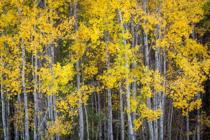 Tree trunks draped in golden autumn leaves   LotsaSmiles Photography