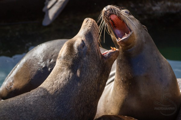 Sea lions squabble over prime dock real estate in the autumn sunshine in Newport, Oregon | LotsaSmiles Photography