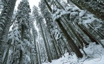 Snow-laden pines stand tall in the Maxwell Butte Sno Park in central Oregon