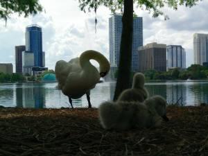 swan-chicks
