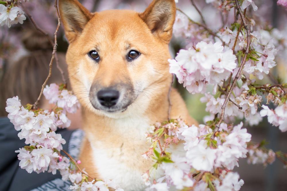 Kirschblüte Lotte