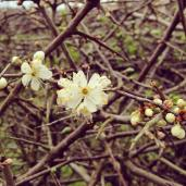 Hedges of flowers & Buds