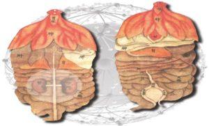 Das Netzwerk der Niere - PeJo, Fotolia