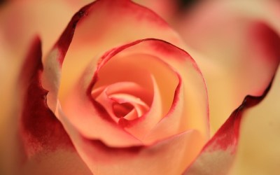 Song – A Rose Pinned on Your Shirt