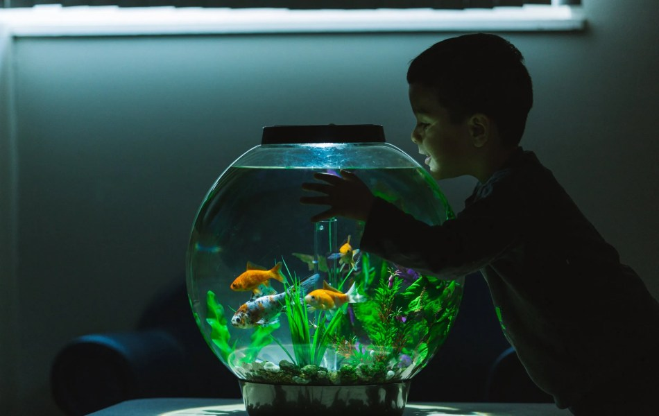Child looking into goldfish tank at daycare facility