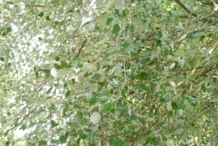 Natural disco lights, fluttering, silver and green. Tickling joy into the air.