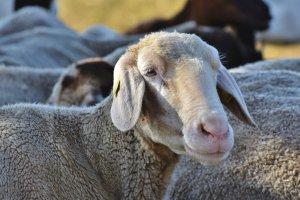 mouton-agir