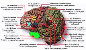 Read more about the article Sciences cognitives : la grande importance de  l'interconnexion  entre la communication écrite et la communication verbale