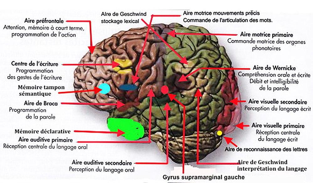 You are currently viewing Sciences cognitives : la grande importance de  l'interconnexion  entre la communication écrite et la communication verbale