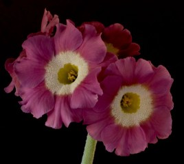 Primula auricula Reddown Tickled Pink