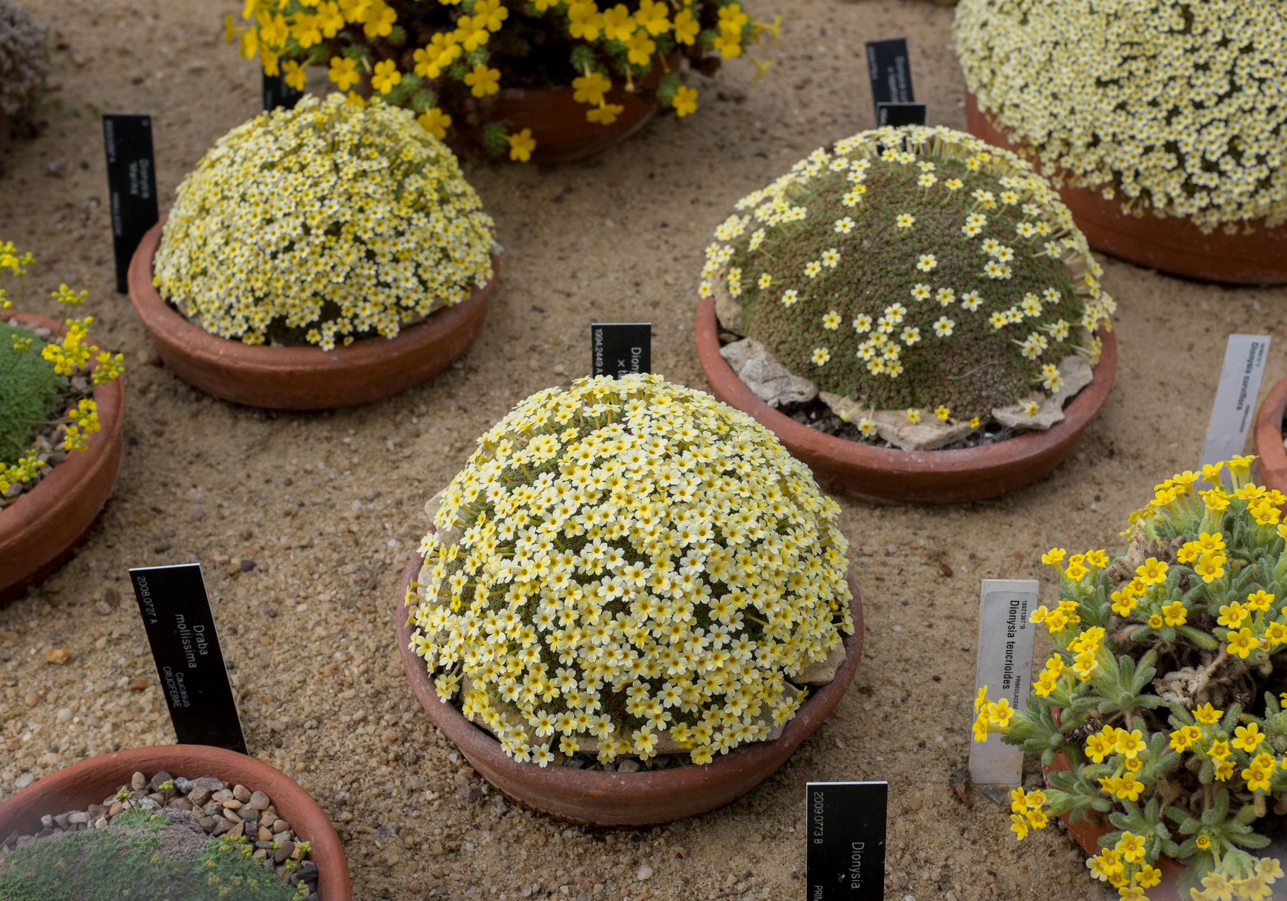 Dionysia And Draba The Auricula Suite
