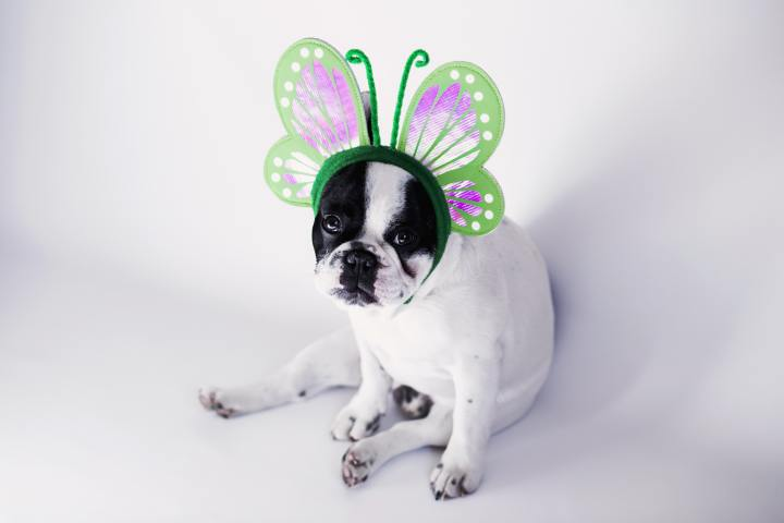 Dog looking fed up in butterfly headband