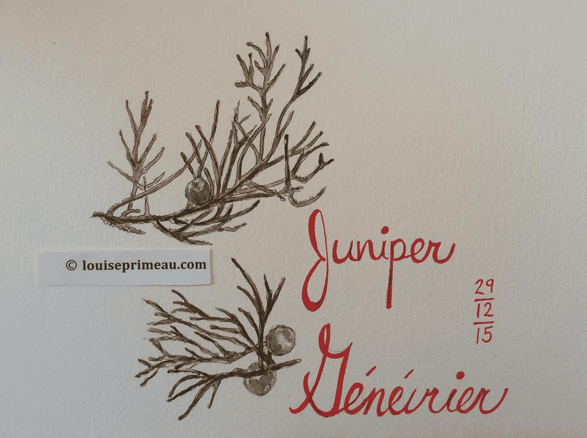 sketch of juniper with berries