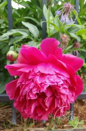 peony in bloom