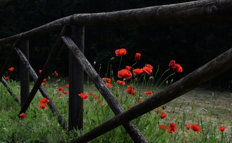 fence with poppies by chris barbalis at unsplash