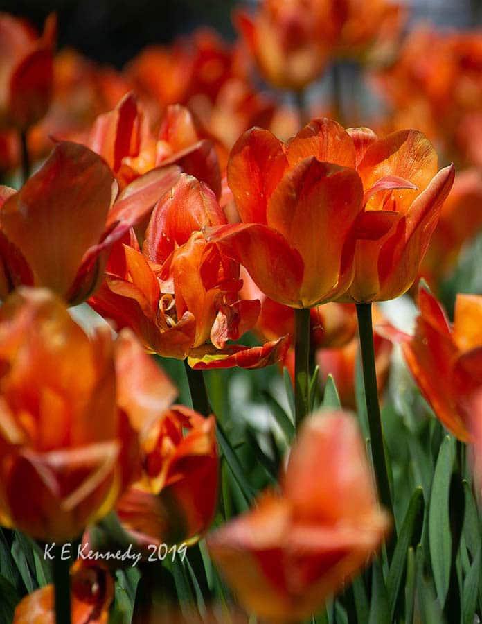 Disneyland Paris tulips by K.E.Kennedy