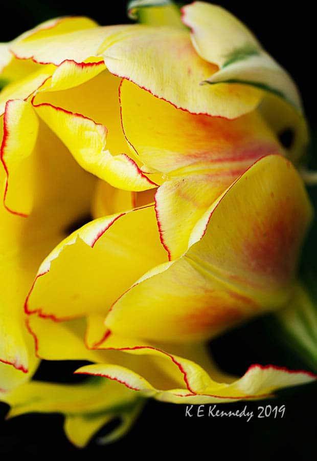 Akebono Tulip by K.E.Kennedy