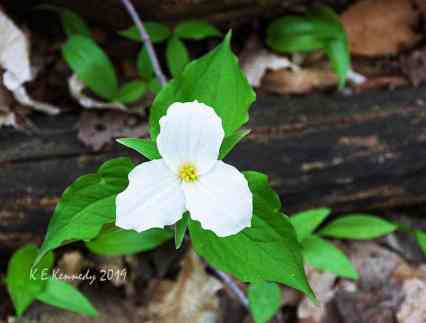 Ontario trillium - photo by K.E. Kennedy