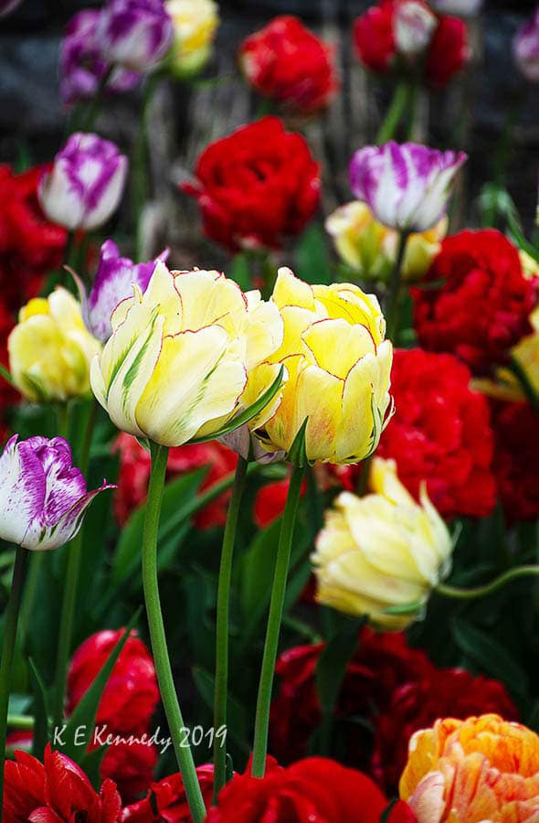 colourful bed of tulips. Photo by Kris Kennedy