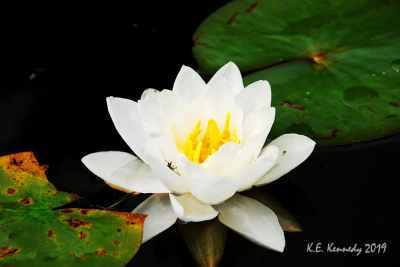 water lily photograph by Kris Kennedy